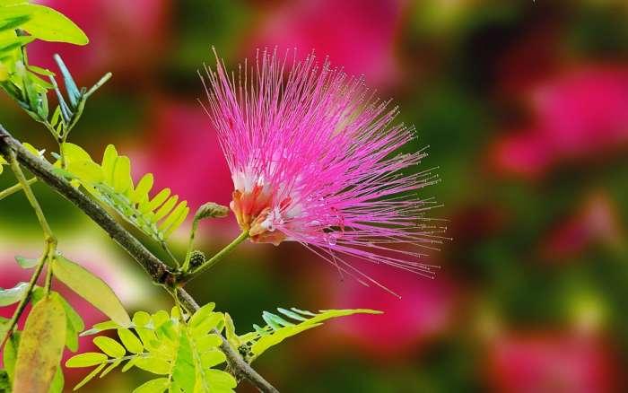 La mimosa comune non è la vera mimosa. Cosa significa?